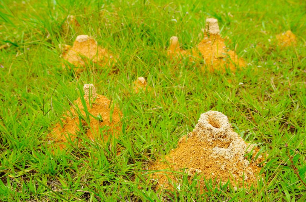 Large anthill of red ants Formica rufa in the grass, in the grove on the edge of the forest background.