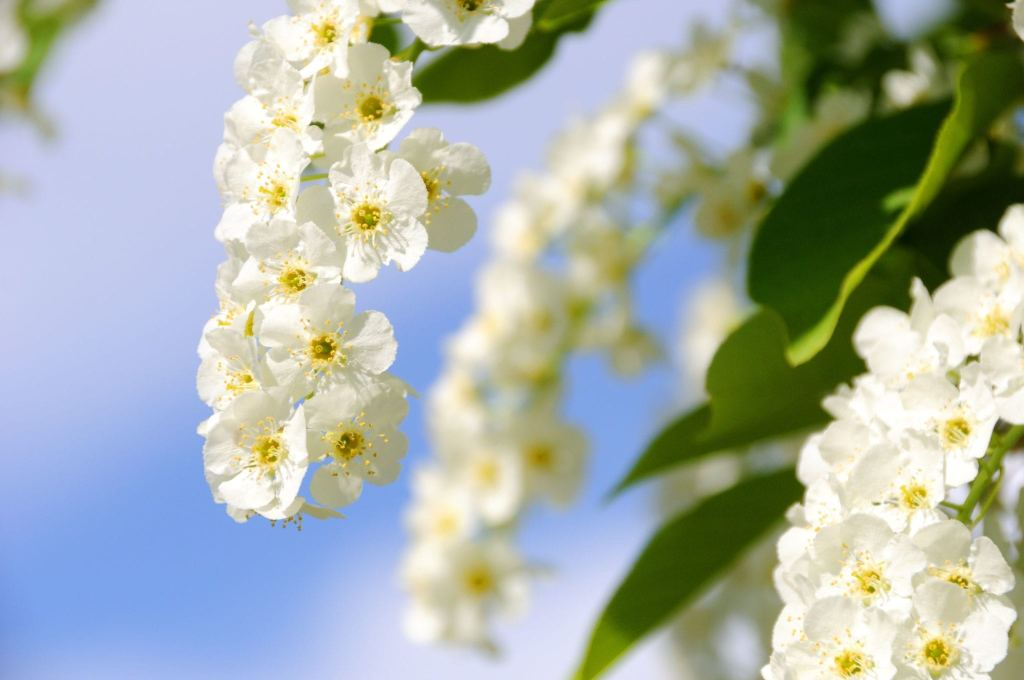 7626396 - choke cherry in bloom