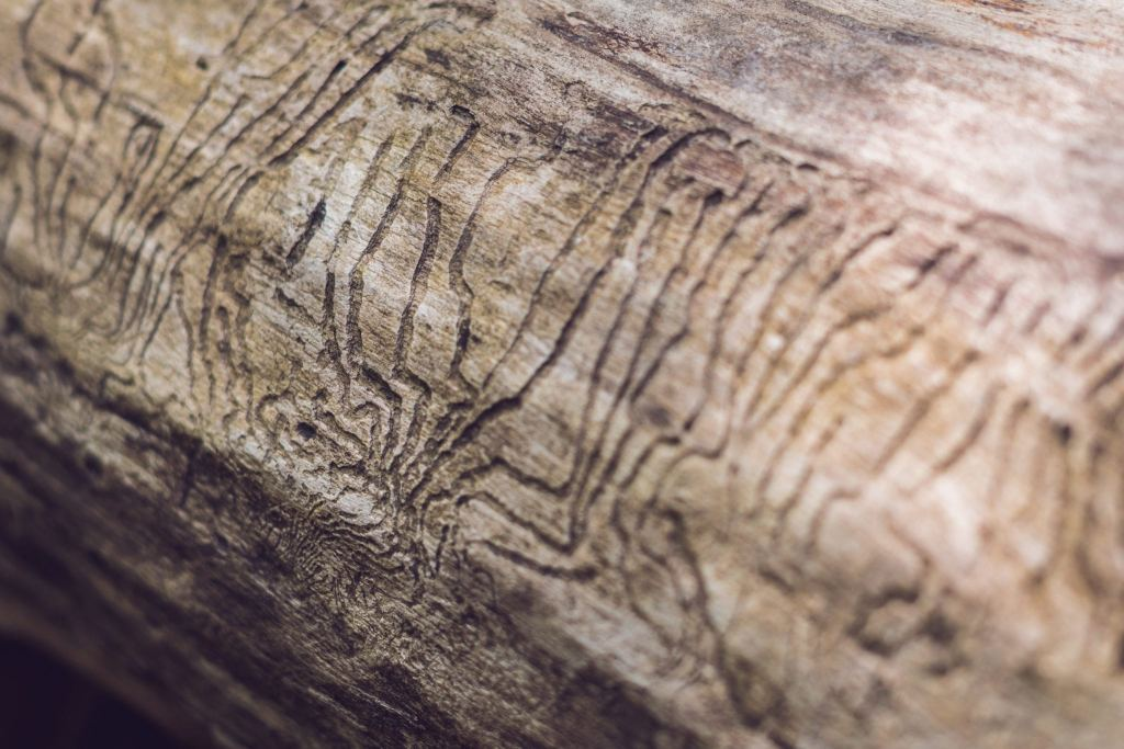 bark beetle gallery engraving on wood. Damage to wood from insects