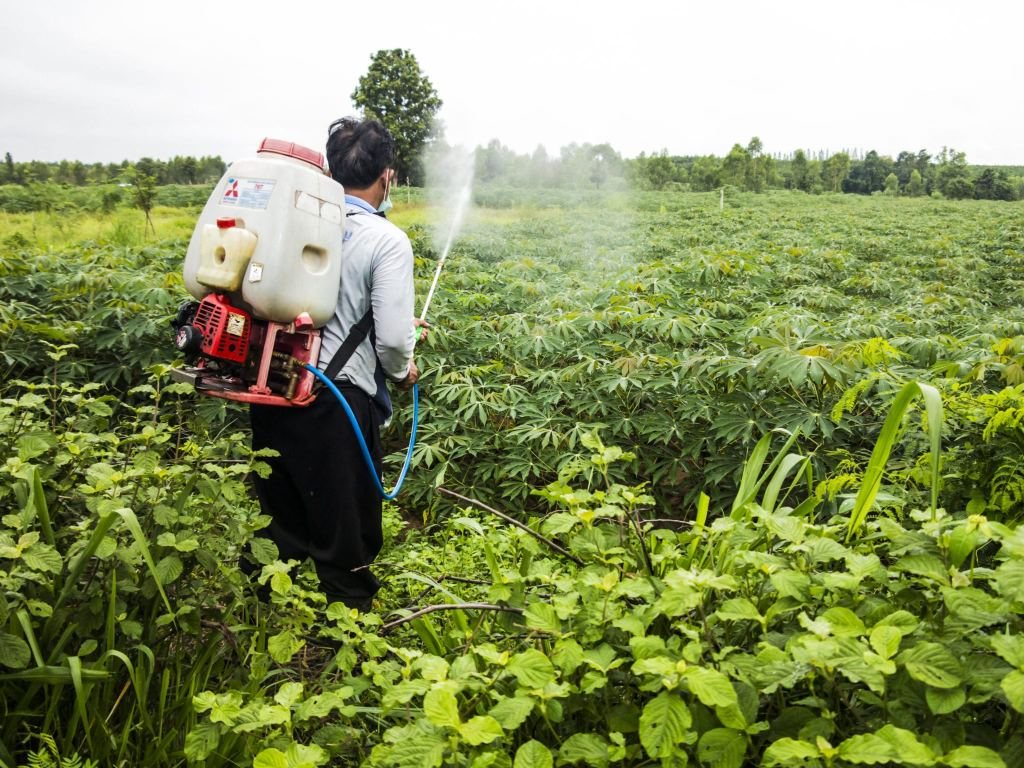Man spraying cassava in the field