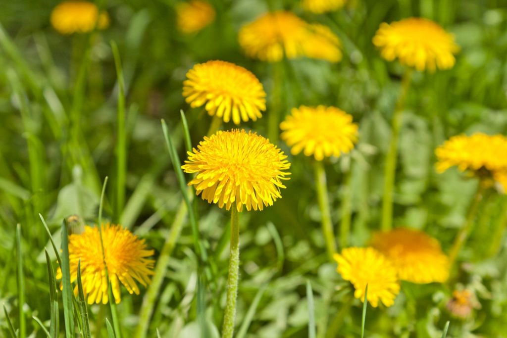 11387821 - yellow dandelions in a garden